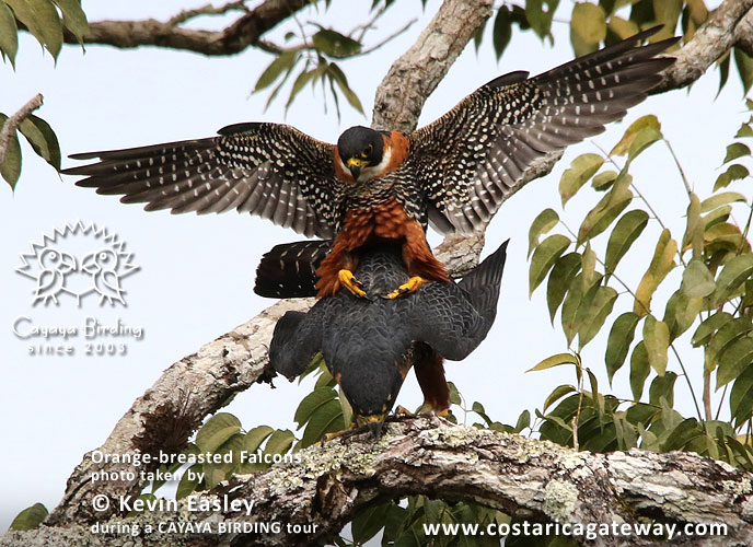 ... Orange-breasted Falcons, by Kevin Easley ...
