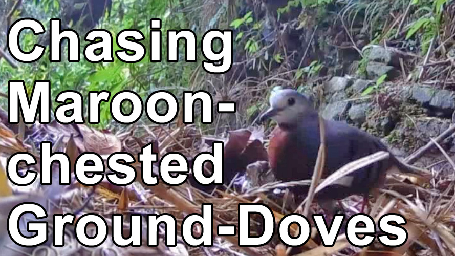 video of Maroon-chested Ground-Doves
